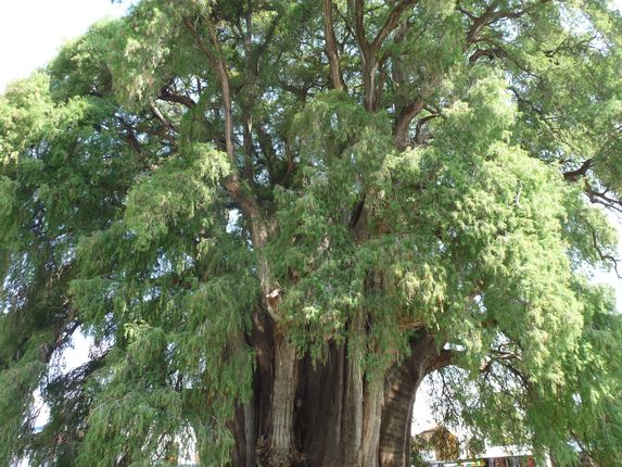 Photo of the week – The oldest and the widest tree in Mexico Tule Tree