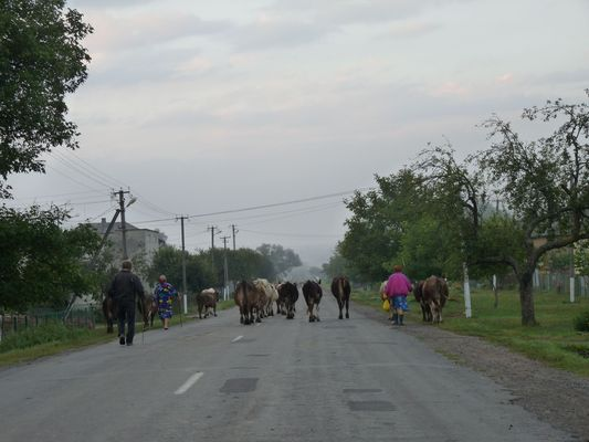 cows in Ukraine