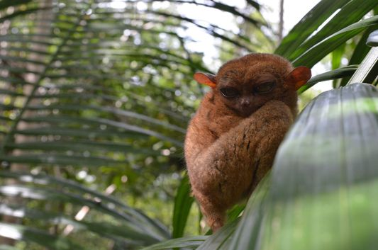 photo of a tarsier in Bohol