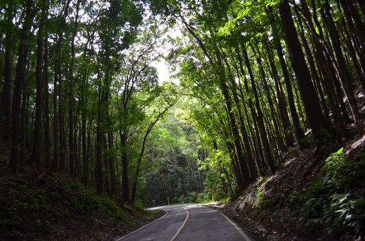 riding through Mahogany man-mae forest in Bohol
