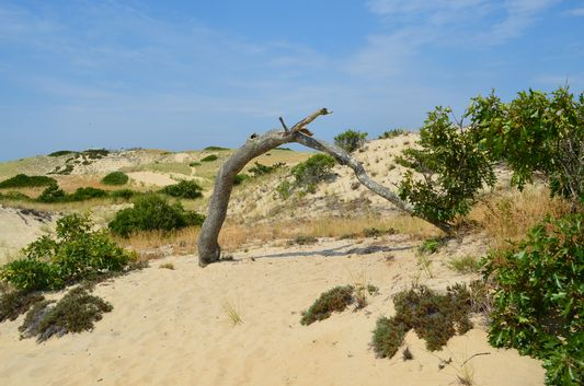 old oak forming an arch in the sand dunes