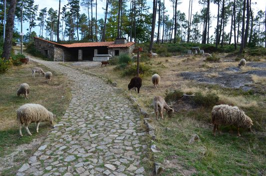 sheep in Arouca Geopark