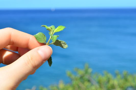 French thyme plant on St.Kitts