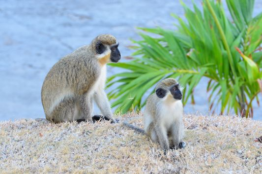green vervet monkeys on St. Kitts island