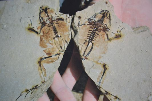 a frog fossil found in Camp dels Ninots