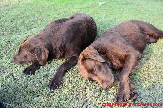 Steve and Pete Blue Osa dogs