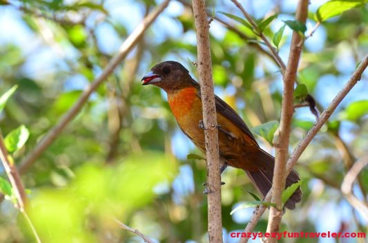 a Tanager eating wildlife Osa Peninsula