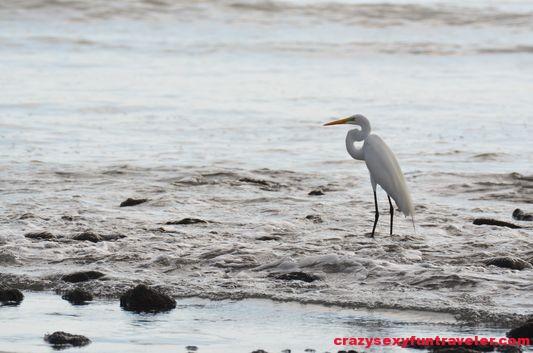 a blue heron on Tamales beach