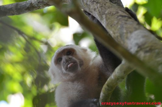a capuchin monkey sticking its tongue at me (1)