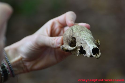 a coati skull Osa Peninsula