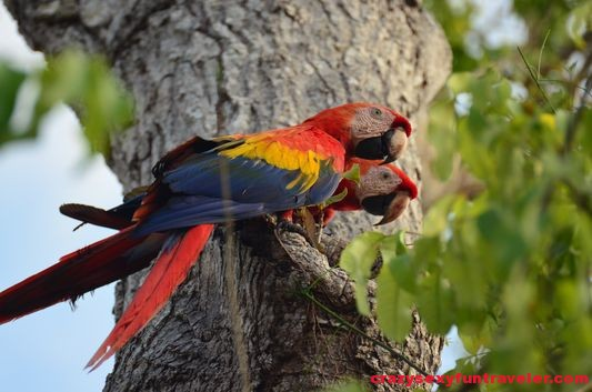 a scarlet macaw couple Osa Peninsula