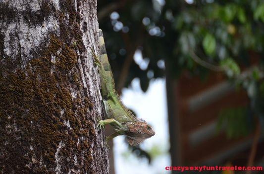 another iguana Osa Peninsula