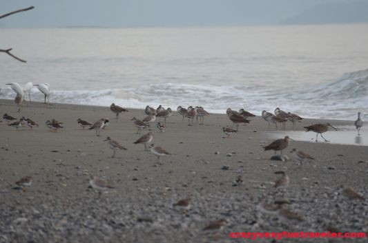 birds on the Tamales beach wildlife Osa Peninsula (1)