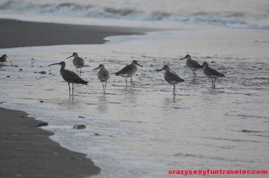 birds on the beach wildlife Osa Peninsula (2)
