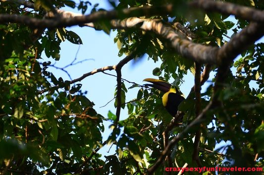 black-mandibled toucans wildlife Osa Peninsula