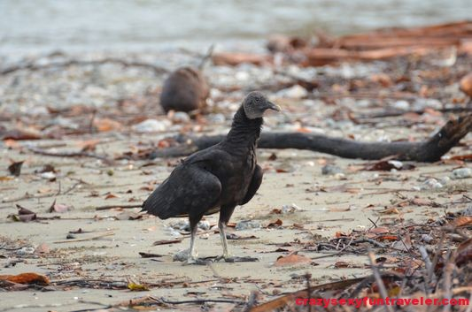 black vultures wildlife Osa Peninsula (1)