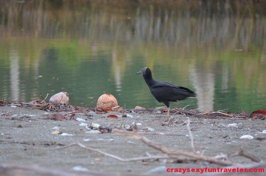 black vultures wildlife Osa Peninsula (2)