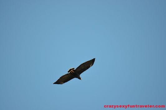common black hawk Osa Peninsula
