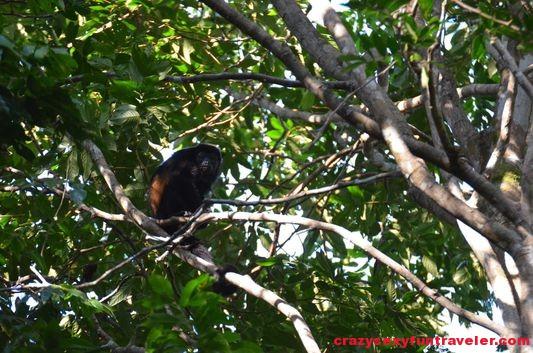 howler monkey Osa Peninsula