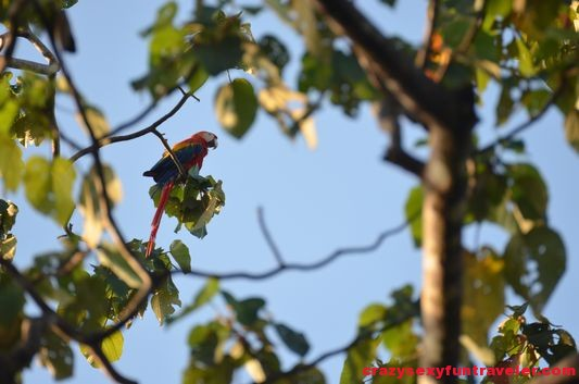 scarlet macaws (1)