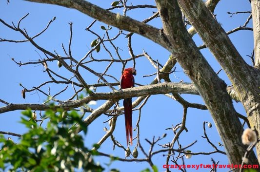 scarlet macaws (3)