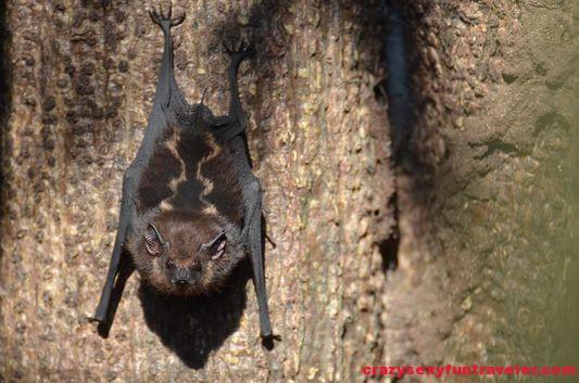 tent bats Osa Peninsula (3)
