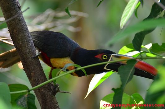 toucans Osa Peninsula (2)