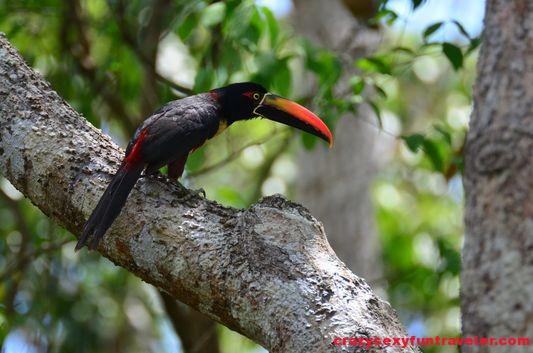 toucans Osa Peninsula (3)