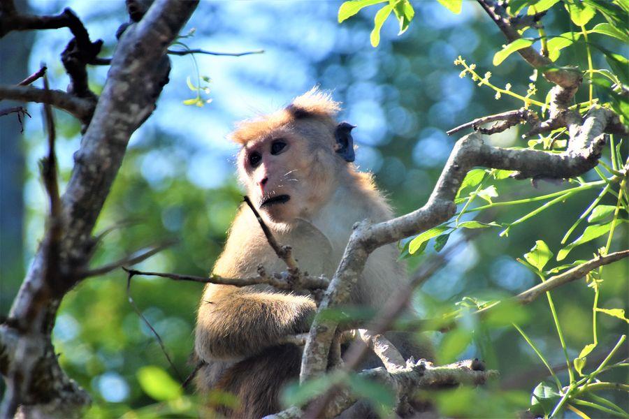opica na Sri Lanke