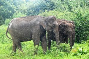 slony v Udawalawe Sri Lanka