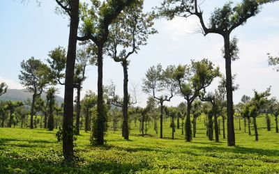 Munnar Tea Plantations And Other Landmarks (1)