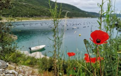 poppy flowers Neum Bosnia and Herzegovina