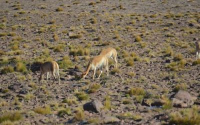 a-vicuna-in-the-andes