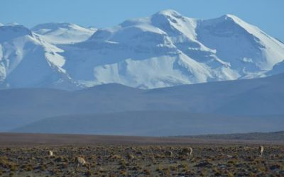 vicunas-in-the-andes-on-the-way-back-from-the-tatio