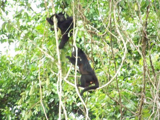 howler monkeys in Yaxchilan, Lacandon jungle, Chiapas, Mexico