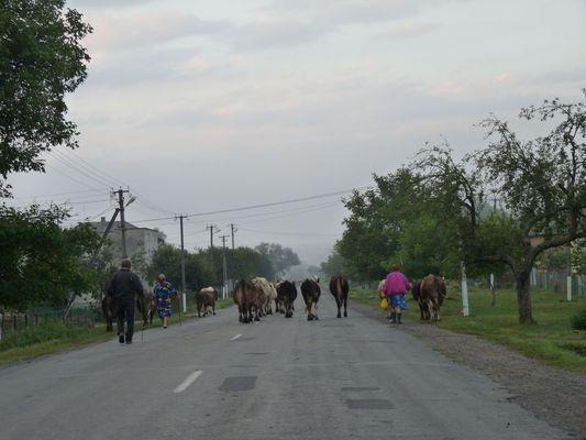 cows in Ukraine