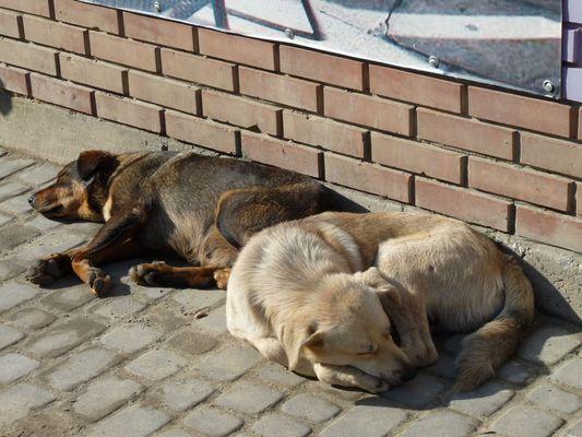 dogs sleeping in Uzgorod market