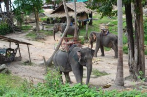 Mr Pong paradise elephants on Ko Phangan island