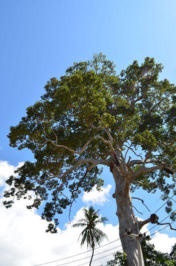 the biggest tree of Koh Phangan
