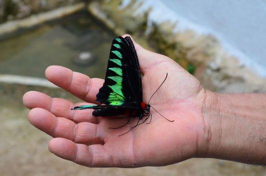 a butterfly in Butterfly Garden in Cameron Highlands