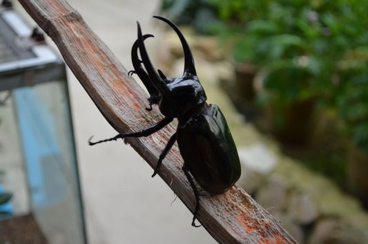 a horn beetle in Butterfly Garden in Cameron Highlands