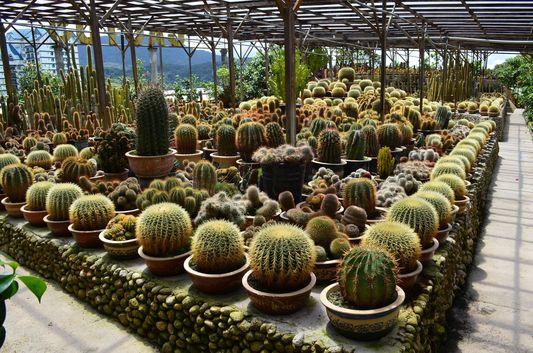 cactus in Cactus valley in Cameron Highlands