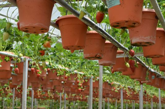 growing strawberries in Strawberry farm in Cameron Highlands