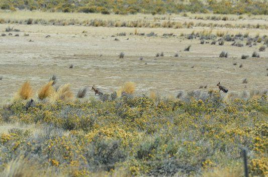 Patagonian hares in Peninsula Valdes