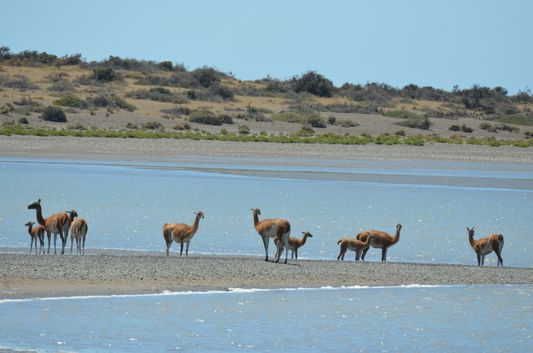 a family of guanacos in Caleta Valdes