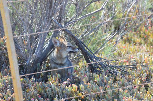 a fox in Caleta Valdes