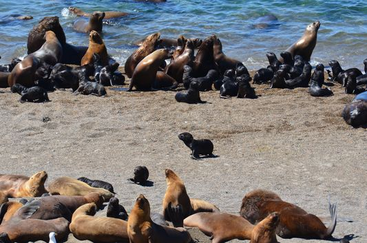 a harem of sea lions in Punta Norte
