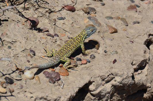 a lizard in Caleta Valdes