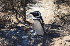 my first Magellanic penguin in Punta Tombo