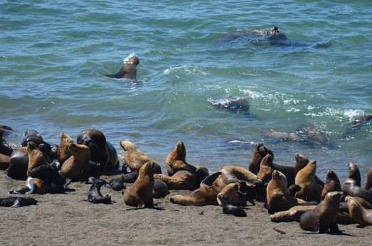 sea lions swimming in Punta Norte